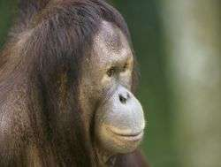 Endangered orangutans threatened by fire in Indonesia