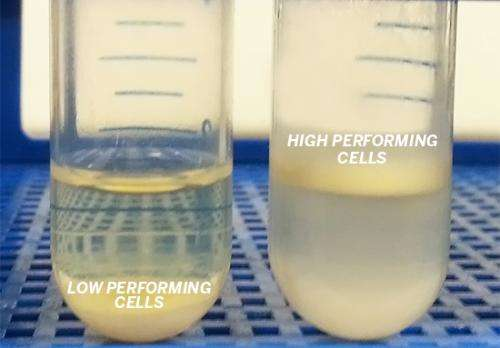 Engineers develop new yeast strain to enhance biofuel and biochemical production