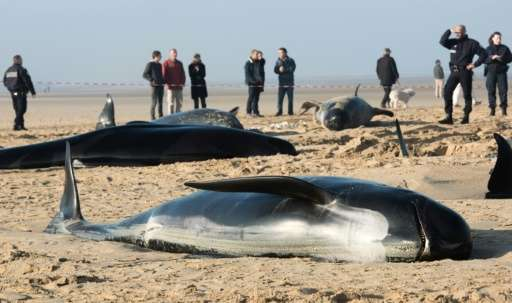 Firefighters and animal rescuers gather around long-finned pilot whaless stranded on a beach in the northern French city of Cala