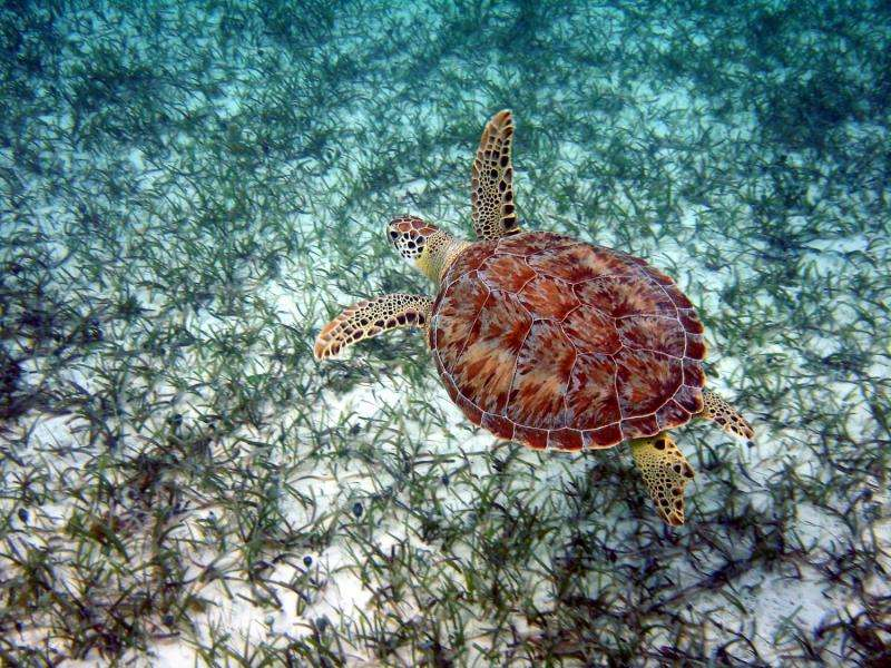 Fishermen discards could increase prevalence of turtle disease in Turks and Caicos