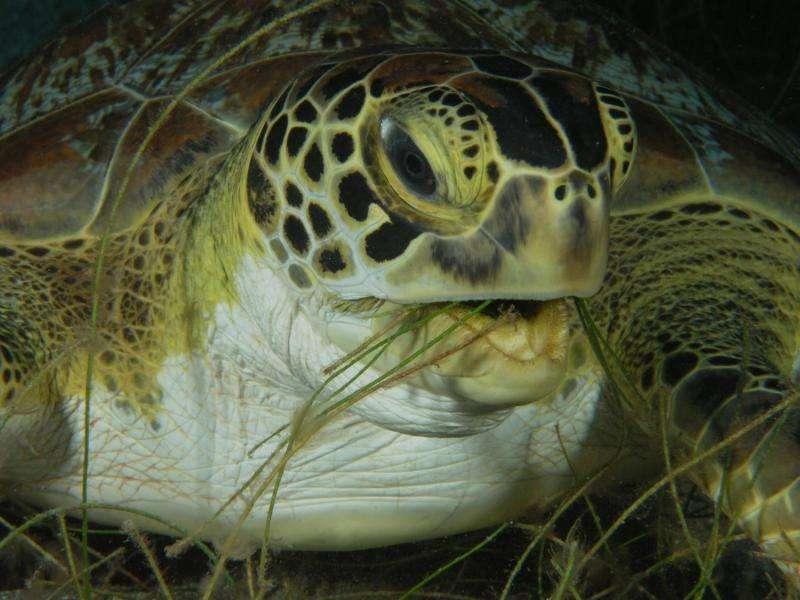 Green sea turtle feasts on marine grasses off the coast of Australia