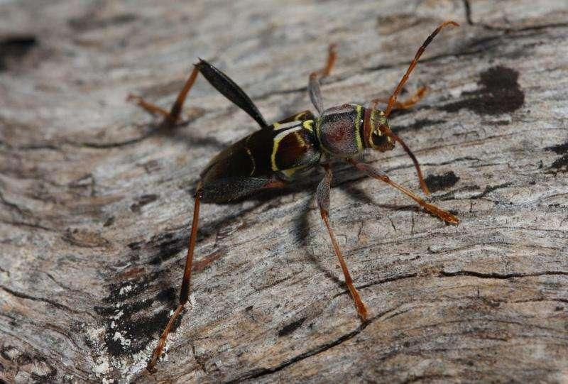 How longhorned beetles find Mr. Right