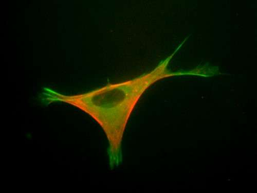 Learning how muscle cells feel the pull of gravity