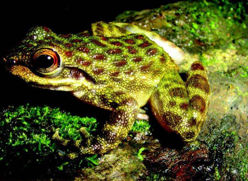 Life in the fast spray zone: 4 new endemic tooth-frog species in West African forests