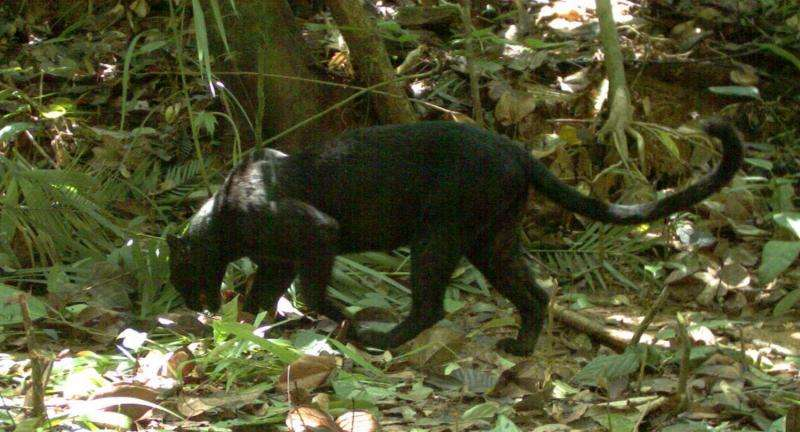 Malaysia's 'black panthers' finally reveal their leopard's spots