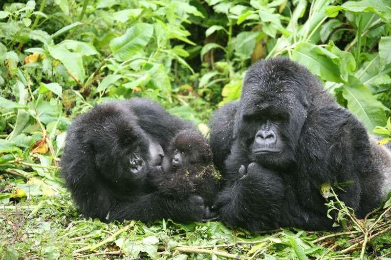 Mountain gorilla mamas sidestep having inbred offspring