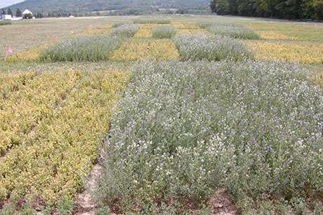New pest-fighting, yield-boosting alfalfa to help farmers