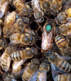 New research finds queen bee microbiomes are starkly distinct from worker bees
