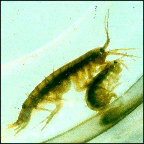 Parasite turns shrimp into voracious cannibals