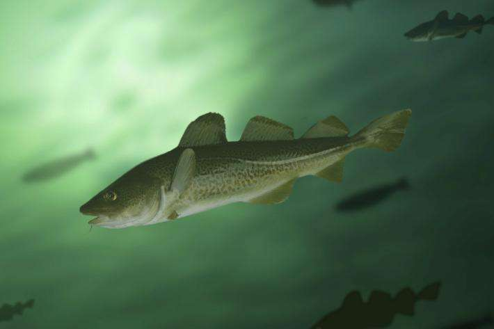 Study highlights noise threat to Atlantic cod