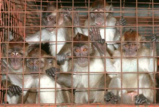 The Philippines is among the world's major exporters of laboratory monkeys and has so far shipped close to 300 monkeys to Japan