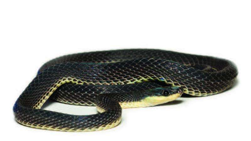 Three new fishing snake species fished out of the Andean slopes in South America