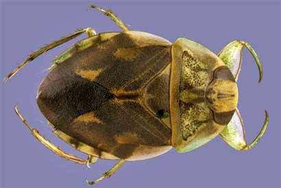 Two new creeping water bug species found in Belize and Peru