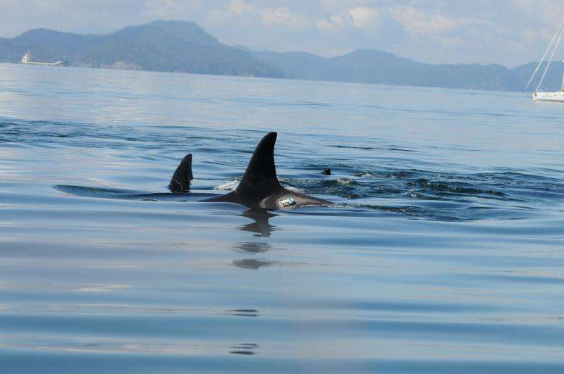 Vessel speed biggest factor in noise affecting killer whales