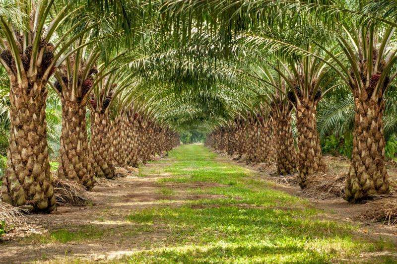 What's behind million-dollar crop failures in oil palm? Would you believe bad karma?
