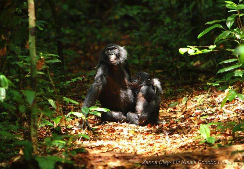 New study shows how complex bonobo communication is similar to that of human infants