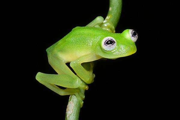 Scientists discover new species of glass frog in Costa Rica
