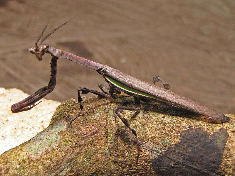 Scientists uncover re-evolution of disruptive camouflage in horned praying mantises