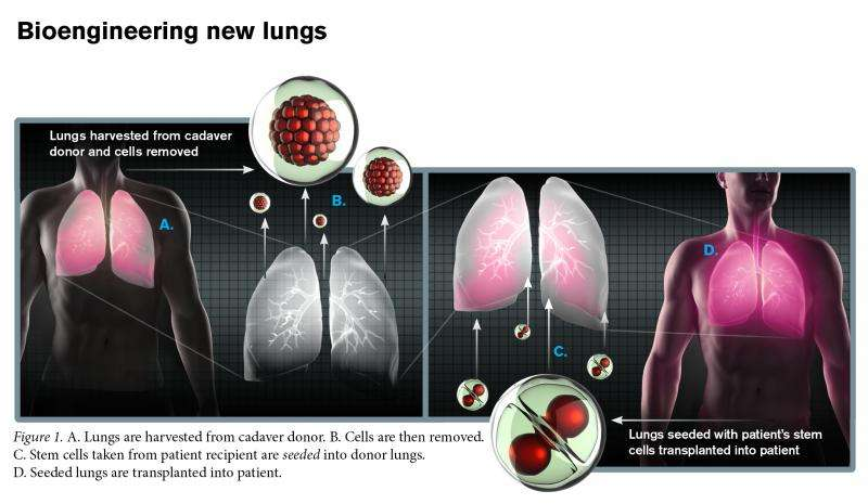 Researchers taking bold steps toward engineering new lungs