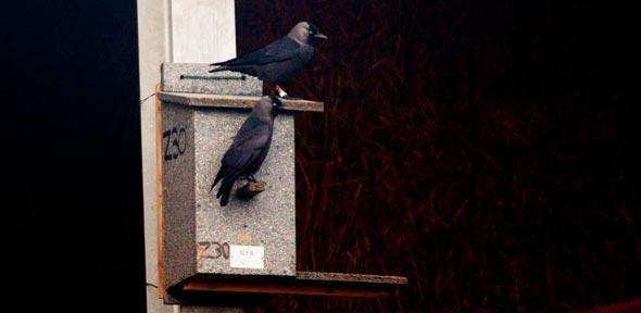 Research shows jackdaws can recognise individual human faces