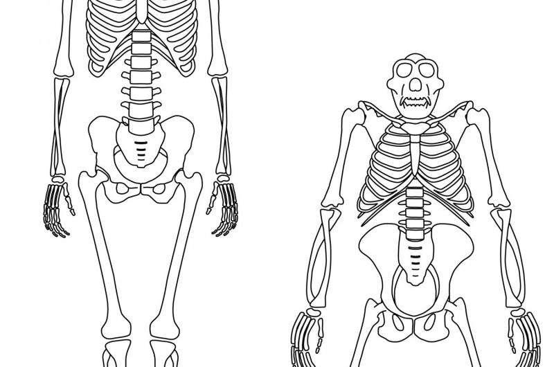 Chimpanzees shed light on origins of human walking