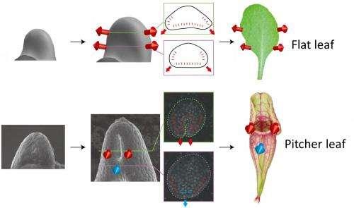 Development of a carnivorous pitcher leaf