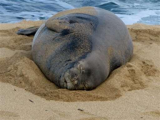 NOAA announces plan for endangered Hawaiian monk seal