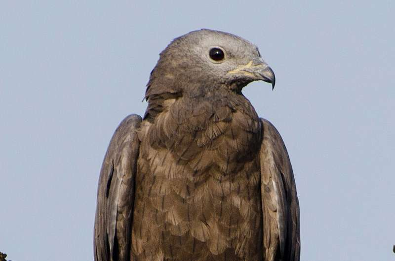 Oriental honey buzzards use nose and eyes to forage for sweet treats