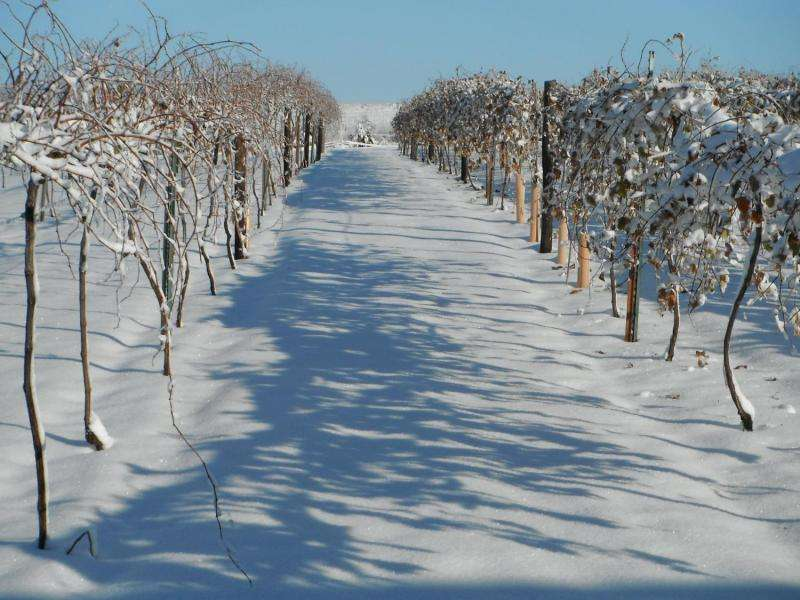 Plant scientists investigate genetics, nutritional needs of cold-climate grapes