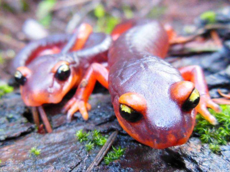 Scientists urge ban on salamander imports to fend off deadly fungus