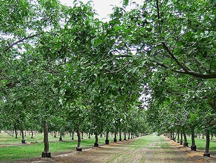 Research team cracks the walnut genome