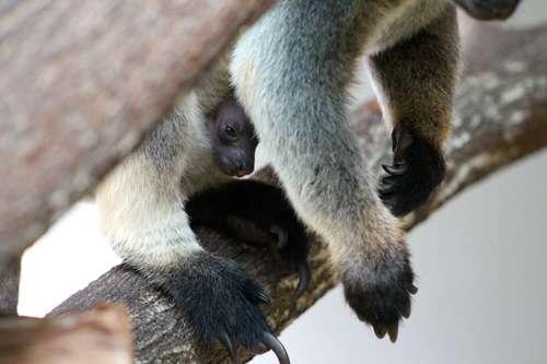 Researchers celebrate rare kangaroo birth