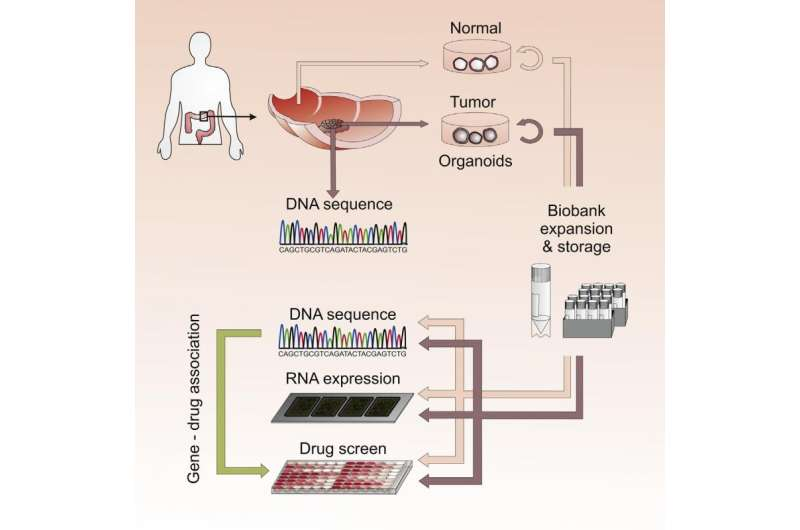 3-D 'organoids' grown from patient tumors could personalize drug screening