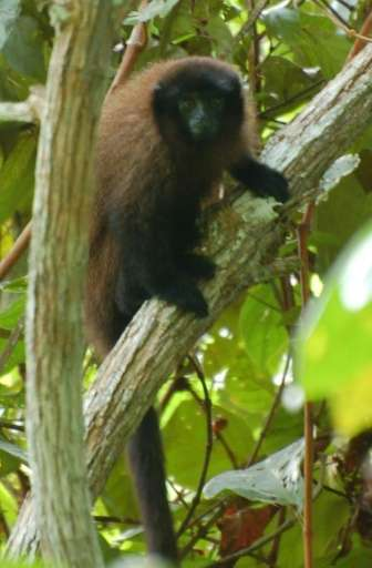 A handout photo obtained on August 20, 2015 shows a Callicebus urubambensis or Urubamba brown titi monkey on the left bank of th