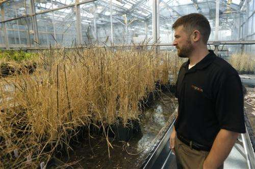 Farmers fund research to breed gluten-free wheat