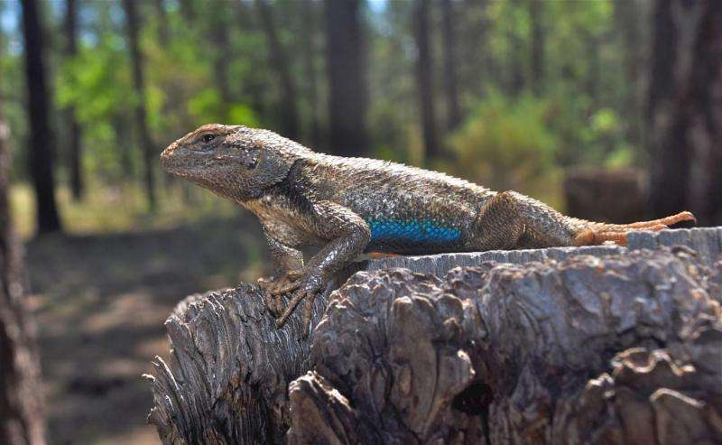 Global warming lethal to baby lizards: Nests become heat traps