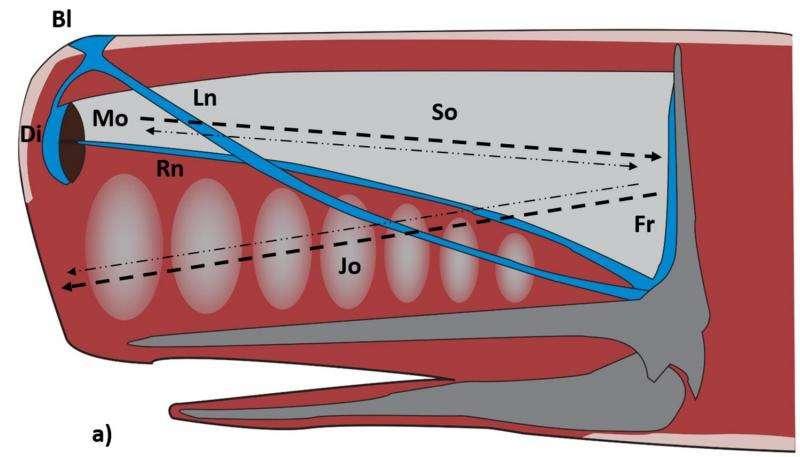 Mediterranean sperm whales show great size variation