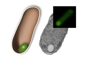 Researchers develop genetic blueprint for organelles that give simple cells new functions