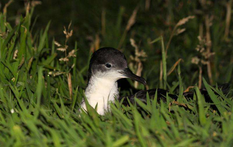 Research sheds new light on enigmatic seabird