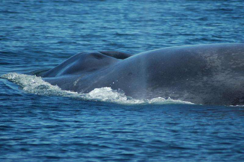Scientists studying blue whale DNA uncover an epic journey by 'Isabela'