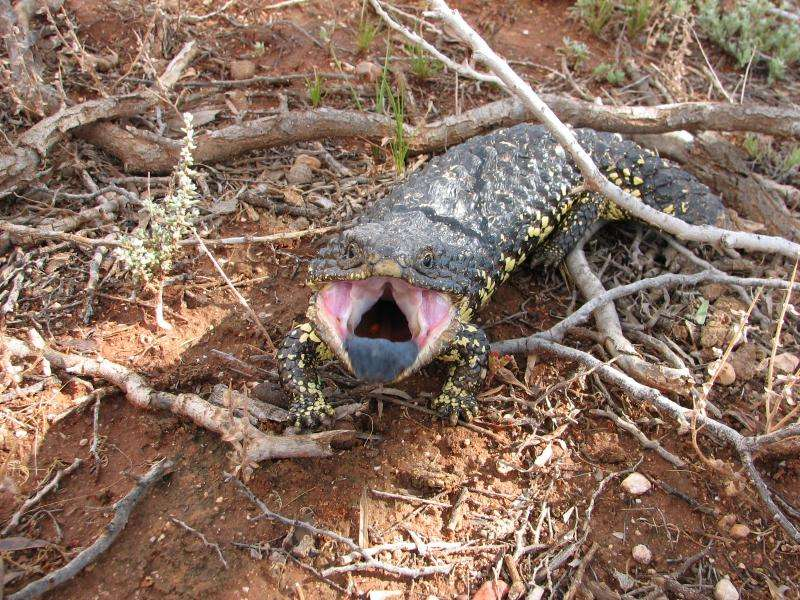 Social networking for lizards – when neighbours don't become good friends