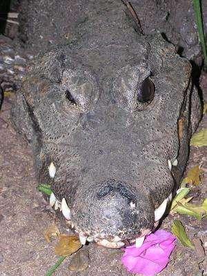 University of Tennessee study: Crocodiles just wanna have fun, too