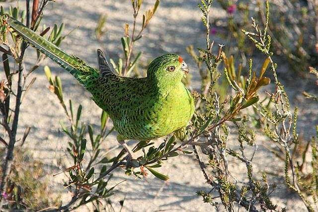 Western Australia's rarest bird species headed for extinction