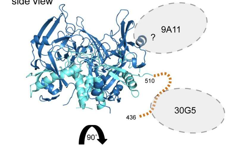 Researchers find new antibody weapons against Marburg virus
