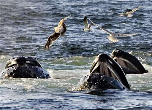Agency proposes lifting protections for most humpback whales