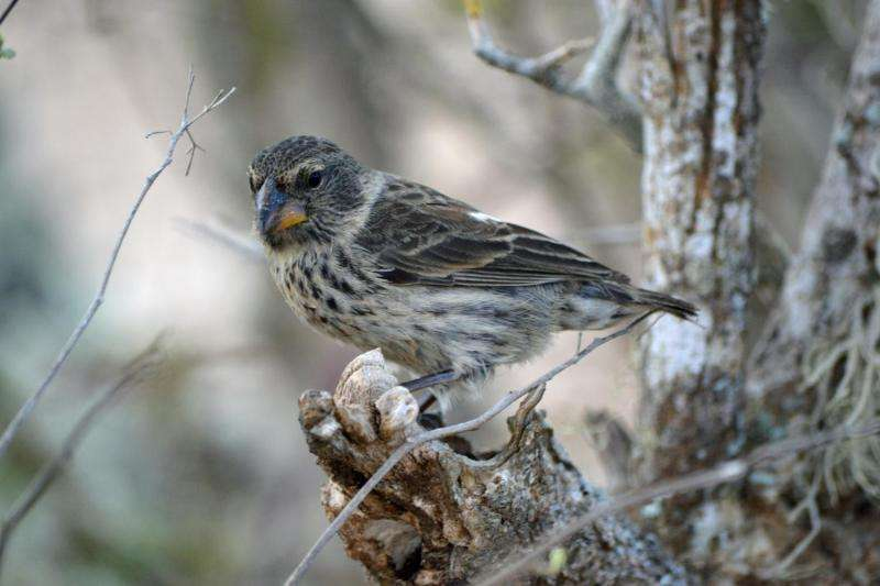 Darwin's finches may face extinction