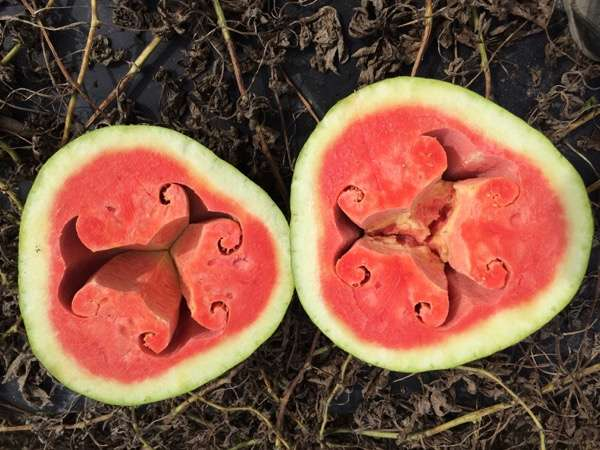 Researcher finds potential cause of hollow heart disorder in watermelons