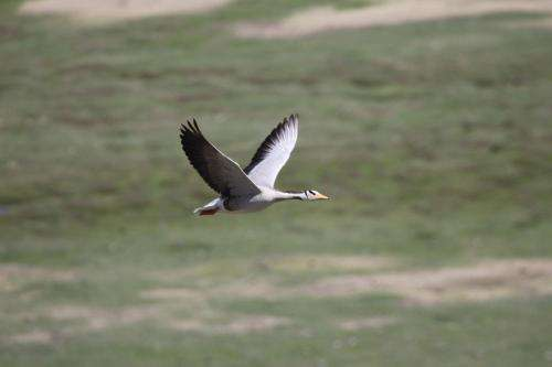 Roller coaster geese: Insights into high altitude bird flight physiology and biomechanics