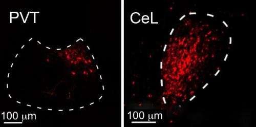 A new neural circuit controls fear in the brain