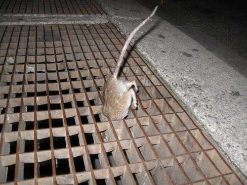 Disease-carrying fleas abound on New York City's rats